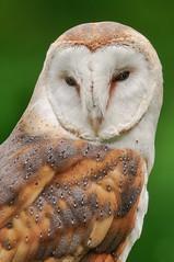 Barn Owl-1981 (Cycroft Photo) Tags: ontario canada nature birds iso200 wildlife f45 raptor owl milton barnowl mountsbergwildlifecentre tytoalba d300 halton 300mmf4 1500sec 7jun09shoot