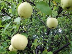 Apples_10110