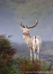 Fallow Deer Stag at dawn (markgsmith) Tags: park red copyright london net nature photography mark wildlife smith richmond deer roar rut cervus elaphus markgsmith wwwmarksmithphotographynet marksmithphotography notforuseorreproductionwithoutpriorwrittenconsent