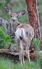 Mule Deer (Chroko) Tags: nikon wildlife evergreen elk afsvrzoomnikkor70300mmf4556gifed