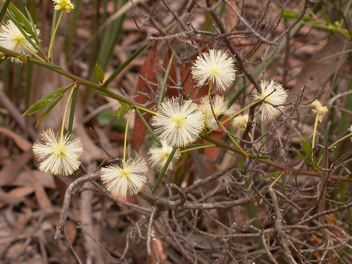 Acacia genistifolia image