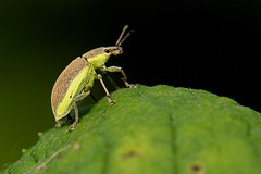 Chlorophanus viridis - Gelbrandrssler (ernst.ruhe) Tags: insekten kfer coleoptera insecta curculionidae neoptera rsselkfer neuflgler ernstruhe chlorophanusviridis curculionidea chlorophanus gelbrandrssler