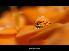 Focus Stacking (Vijay..) Tags: orange macro nature canon bokeh ps adobe 329 raynox focusstack explored dcr150 vijayphulwadhawa