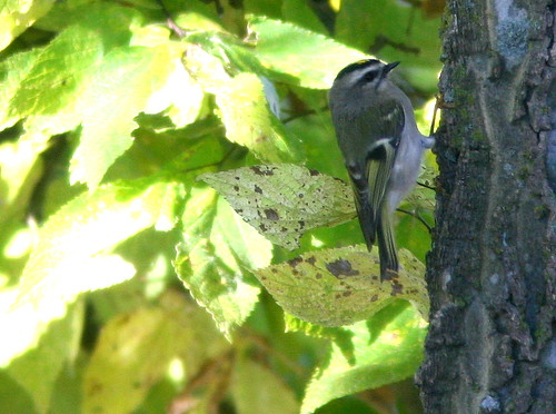 Golden-crowned Kinglet 3-20101007
