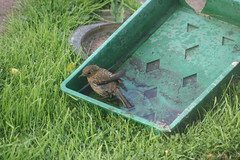 Bathing juvenile robin