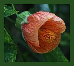 Flowering Maple, Abutilon pictum (Shandchem) Tags: scotland tayside dundeebotanicgardens