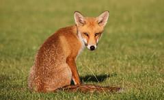 Fox Cub (Dan Belton ( No Badger Cull )) Tags: red leicestershire fox loughborough vulpesvulpes