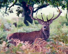 The Boss (Andrew Haynes Wildlife Images) Tags: nature mammal leicestershire wildlife deer reddeer bradgatepark canon7d ajh2008