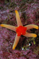 HjalmarBjorge-201006-RenishPt-Starfish-HenriciaSp-7cm (Tony J Gilbert) Tags: sea macro skye coast scotland nikon marine underwater lewis wideangle scuba diving diver harris worms minch mull westernisles corals sponges uist polyps outerhebrides d300 liveaboard seaslugs nudibranchs bryozoans hjalmarbjorge wwwnorthernlightukcom