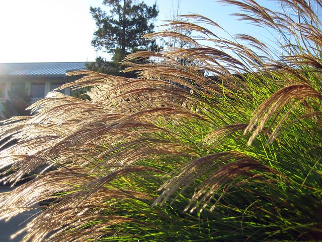 Susuki Grass