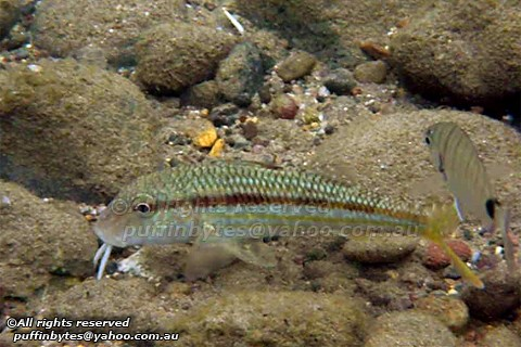 Striped Red Mullet - Mullus surmuletus