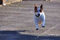 Belle is FLYING again (JRT ) Tags: wallpaper dog sun fur jack nose fly flying eyes nikon jrt russell sunny ears terrier jackrussell belle paws collar jackrussellterrier d90 brownhead johnwarwood flickrjrt
