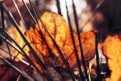 #15 (BenediktU) Tags: autumn light red sun leaves yellow sunrise leaf laub makro blatt sonne