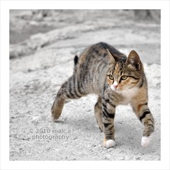Cat on the prowl (Malc ) Tags: cat greek photo nikon mediterranean photos tiger hellas greece lesvos malc lesbos eresos mytilene d90 finegold mitilini  photosof eressos cc100 mitilene bestofcats nikond90   goldstaraward   malcc 5boc malcolmchapman flickraward5   malcolmpchapman