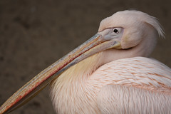 portret. (Dikke Biggie.) Tags: bird birds vogels portret vogel rhenen roze ouwehands pelikaan dierenpark pelikanen ouwehandsdierenparkrhenen canoneos450d
