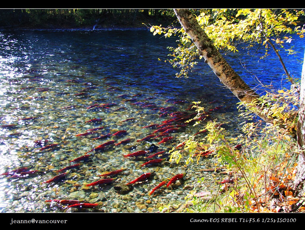 Red & Yellow, the major colors of autumn at Adams River