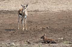Born to be wild (belthelem) Tags: africa animal born nikon kenya wildlife safari mara bebe gazelle kenia masai thompson nacimiento sabana masaimara gamedrive gacela thomsongazelle specanimal herbvoro d300s