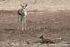 Born to be wild (belthelem) Tags: africa animal born nikon kenya wildlife safari mara bebe gazelle kenia masai thompson nacimiento sabana masaimara gamedrive gacela thomsongazelle specanimal herbívoro d300s