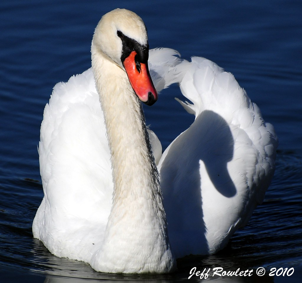 Baby The Swan By Jeff Rowlett