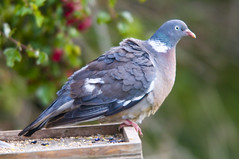 Wood Pigeon (Columba palumbus) on Bird Table at Blacktoft Sands (Steve Greaves) Tags: wood pink portrait green bird weather closeup grey wooden feeding bokeh dove large overcast feeder aves naturereserve birdtable feed dull avian rspb woodpigeon columbapalumbus commonwoodpigeon 2xteleconverter blacktoftsands manfrottomonopod nikond300 whitepatch globalbirdtrekkers nikonafsii400mmf28ifedlens