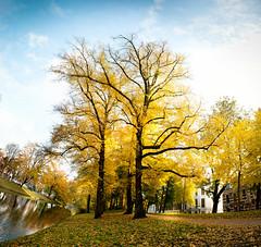 Yellow trees! Sunny Autumn Afternoon in Utrecht (lambertwm) Tags: trees bomen boom yellow jaune geel gelb utrecht thenetherlands holland nederland paysbas hollanda   alankomaat niederlande  paesibassi   herfst   autumn  efterr lautomne herbst  autunno   jesieni outono  elotoo hst sonbahar sunrays zonneschijn zonnestralen zonnestraal  sonnenschein strahlendersonne godrays raggidelsole rayonsdusoleil