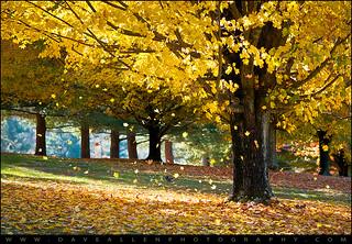 Autumn Maple Trees Fall Foliage - Wonderland