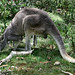 A young Grey Kangaroo