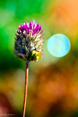 Gomphrena and a full (bokeh) moon (alan shapiro photography) Tags: flowers autumn fall canon garden backyard colorful blossom bokeh exploring tired bloom flowering blossoming fading wandering 2010 blooming gomphrena roaming changeofseasons colorfulflowers alanshapiro flowerphotography colorphotoaward naturewatcher wonderfulworldofflowers awesomeblossoms ashapiro515 canont1i anotherdayinthegarden ©2010alanshapiro alanshapirophotography wwwalanwshapiroblogspotcom alanshapiroflowerphotography flowercolorstudy antseyeviewbokeh ©2010alanshapirophotography