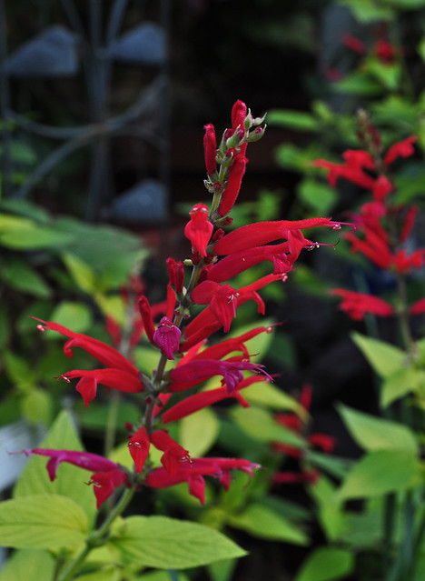 Salvia elegans 'Golden Delicious'