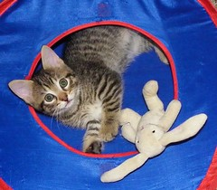Tender Tabby Kitten With His Bunny! (silverbox2: Willow Is Purring) Tags: pet cute bunny play tabby cutecats cattoy tabbycats browntabby kissablekitties flickrspets furrycatfriends allcatsallowed allcatsnopeople siamesecatsandtheirfelinebrothers specialpetportraits intensosanimalesintenseanimals chimoherkittens