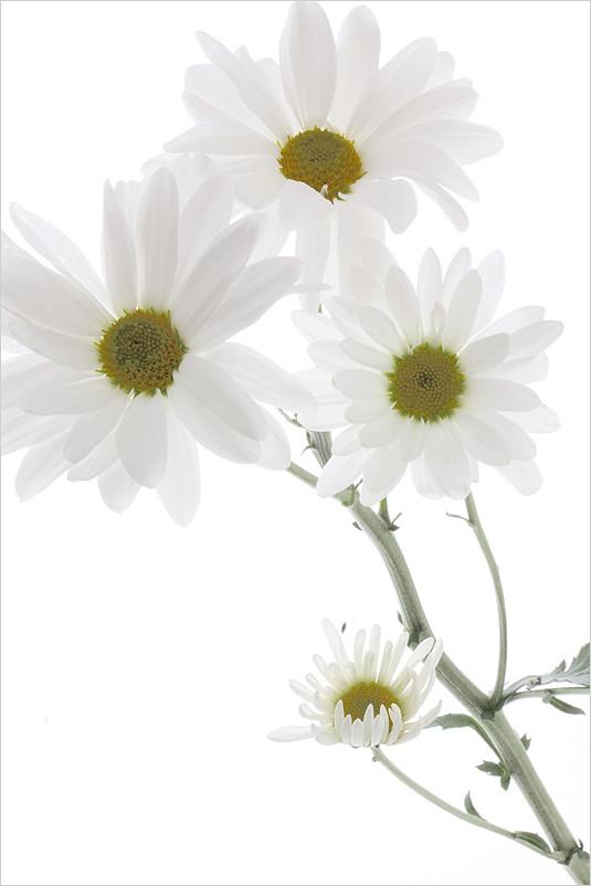 White Daisy / Daisies -
