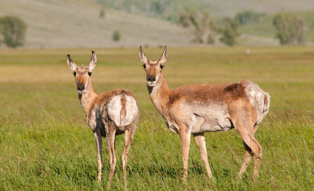 Double Pronghorn