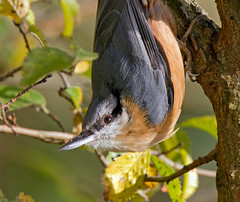 Nuthatch Up Close (Andrew Haynes Wildlife Images ( away for a while )) Tags: bird nature wildlife coventry nuthatch warwickshire wimberley coombeabbey canon7d ajh2008