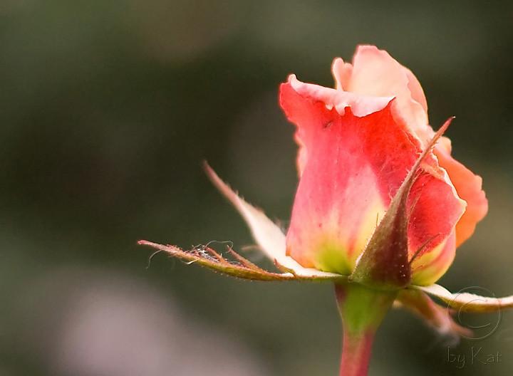 Last Rose 1