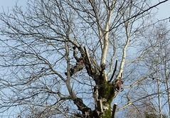 Nussbaum fllen (HITSCHKO) Tags: juglansregia echtewalnuss