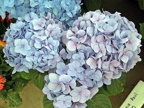 hortensia azul 1