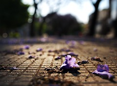 Flores de Jacarand (Tato C) Tags: flowers trees flores rboles dof purple sidewalk jacaranda vereda prpura