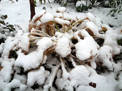 Hosta in Snow