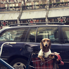 sweater season (moggierocket) Tags: city dog pet cold cute amsterdam bicycle sweater basket serious small posing dachshund jumper christmasdecoration companion weiner comfy pampered thelittledoglaughed suchasweetpupandsuchasweetlady wechasedthislovelyladyandherdachshund ilikethecombinationofthetoughcollarandhiswoollyjumper dogsnameishansje