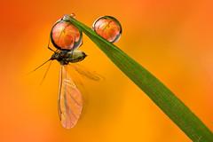 BLACKFLY DEWDROP REFRACTION  #2 (GOLDENORFE) Tags: macro insect waterdrop blackfly insectt dewdroprefraction macrolife dewdroprefractions