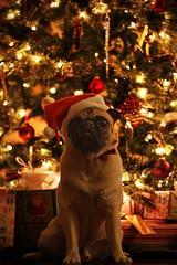 Our Christmas Ham (WeeLittlePiggy) Tags: santa christmas dog pug christmascard