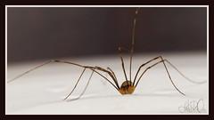 (Josephine Dahl) Tags: home animal denmark spider scary legs olympus creepy athome scandinavia visitor danmark zuiko 8legs e420