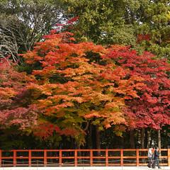autumn@Kamigamo jinja, Kyoto, Japan (-sou-) Tags: autumn red tree shrine   jinja worldheritage kamigamojinja