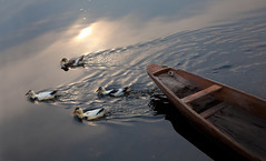 0265 Four ducks--Dal Lake , Kashmir , India (ngchongkin) Tags: india duck niceshot harmony showroom blackbox soe shiningstar nationalgeographic musictomyeyes favoritephotos beautifulearth finegold superphotographer theworldinmyeyes avpa flickrhearts flickraward flickrbronzeaward thebestteam heartawards diamondstars eperkeaward artistsoftheyear betterthangood dazzlingshots natureislife flickridol flickrroseawards flickrestrellas brilliantphotography beautifulaward thebestshot highqualityimages spiritofphotography discoveryphotos 469photographer naturesphotos grouptripod doubledragonawards artofimages visionaryartsgallery contactaward artisticandhighqualityshots naturesprime angelgallery youandtheworld bestpeopleschoice mygearandme lomejordemisamigos fabulousplanetevo thehouseofimagegallery goldstarawardlevel1 photographyforrecreationgoldaward photographyforrecreationsilveraward photographyforrecreationbronzeaward highqualityimagequaifiedmembersonly vivalavidalevel1