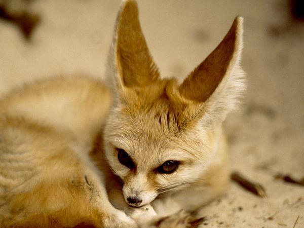 fennec-fox_523_600x450