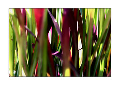 You Could Hear The Grass Rustle (paulinecurrey) Tags: grass outside textures garden macro abstract colourful bright sunshine contrast green red detail closeup blur bokeh