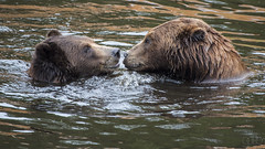 Brown Bear (lgflickr1) Tags: review bear grizzly alaska wildlife water cute sitka brown