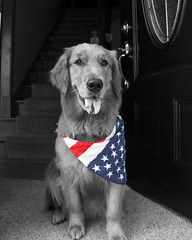 4th of July (macyellek) Tags: july fourth 4th 4thofjuly dog golden goldenretriever gold pup puppy doggo cute love picoftheday photooftheday happy travel dogs blackandwhite black white america american flag fireworks celebrate celebration ilovemydog lovedog nature world wynterwhiskey edit exclusive red blue the606 wynter outdoor indie illinois outside lighting happiness adventure canon chicago citylife city visit bestfriend natgeo minimal