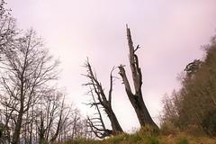 4B5A0675 (Akane 茜) Tags: 阿里山 夫妻樹 神木 枯木 檜木