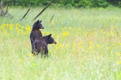 Looking out (packowolves4) Tags: bears flowers family dangerous beauty awesome baby cub wild mammals bear fields outdoors nature wildlife